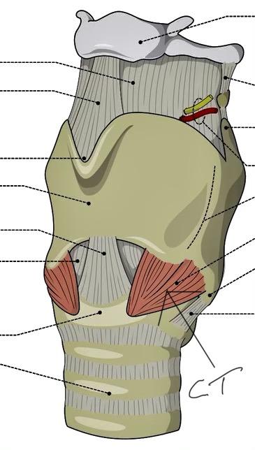 a illstration of larynx