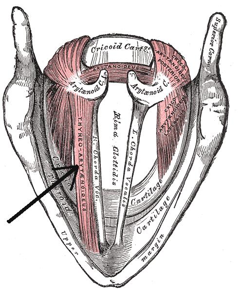 Musculusthyreoarytenoideus